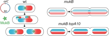 Model of E. coli chromosome organization/segregation. Wild-type: Chromosomes segregation is facilitated by the <L-R> organization initiated by MukB colocalizing with the ori regions. mukB (22°C) and mukB topA10: 'MukB-free' segregation is allowed only when the level of negative DNA supercoiling is increased (low temperature/topA10) but leads to an aberrant arrangement, with the two arms extending (twisted or not with each other) from the old poles to the new poles. For clarity, the two replichores are represented as untwisted. The chromosome organization in mukB topA10 cells is extrapolated from the aberrant origin positioning.