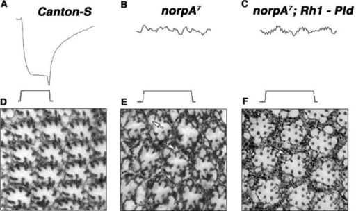Pld does not directly transduce light signals, but does morphologically rescue retinal degeneration in the norpA7 mutant. ERGs were obtained from flies raised under continuous light conditions for 1 d: (A) Canton-S, (B) norpA7, and (C) norpA7; P{UAS–Pld}/ Rh1. Retinal tissue sections were prepared from flies raised under a 12-h light/12-h dark cycle for 21 d: (D) Canton-S, (E) norpA7, and (F) norpA7; P{UAS-Pld}/ Rh1. (D) All 7 photoreceptor cells in all 12 of the complete ommatidia are present in the wild-type Canton-S section, whereas the norpA7 flies (E) display an irregular ommatidial array that is characterized by intracellular vacuolation (arrows) and missing photoreceptor cells. Only five of the nine complete ommatidia within this section contained seven intact photoreceptor cells. However, a more normal ommatidial structure was observed in norpA7 flies that overexpressed Pld (F). Although some vacuolation was observed (arrow), all eight complete ommatidia in this section contained seven photoreceptor cells. The experiment was performed three times, and two eyes were sectioned per experimental condition with equivalent results. The entire set of sections was examined, and representative sections were selected for the figures. (G) Western blot analysis of rhodopsin protein levels using a mouse monoclonal antirhodopsin antibody. Tubulin was used as the loading control. Protein was extracted from the following adult heads: Canton-S (lane 1), norpA7 (lane 2), P{UAS-Pld}/ Rh1 (lane 3), norpA7; P{UAS-Pld}/ Rh1 (lane 4). Rhodopsin levels were not decreased by Pld overexpression. Sections were representative of three experiments performed. Slightly elevated levels of rhodopsin in the P{UAS-Pld}/ Rh1 sample were observed in this experiment, but this was not a consistent finding based on the other experiments (not depicted).