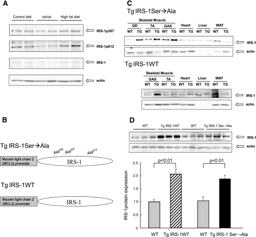 Generation of Tg IRS-1 Ser→Ala mice. A: Serine phosphorylation of IRS-1 protein in skeletal muscle. Serine phosphorylation of IRS-1 and protein expression of IRS-1 were analyzed by Western blotting. All mice were killed at age 16 weeks. The high-fat diet group was fed for 8 weeks. B: Vector construct of the mutated IRS-1 gene (Ser302, Ser307, and Ser612 to Ala mutant) for Tg IRS-1 Ser→Ala and WT IRS-1 gene for Tg IRS-1 WT. C: Comparison of IRS-1 expression in different insulin-targeting tissues. Protein expression of total IRS-1 and actin were analyzed by Western blotting. D: Comparison of IRS-1 expression between Tg IRS-1 Ser→Ala and Tg IRS-1 WT mice. Each graph was expressed as fold difference to their littermates. GAS, Musculus gastrocnemius; QD, Musclus quadriceps; TA, Musculus tibialis anterior; WAT, white adipose tissue.