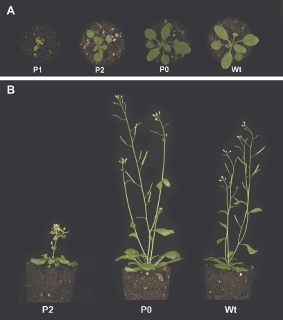 Phenotype categories P1, P2, and P0 observed under the long day conditions in the Rps10.1 line. (A) Three phenotype categories observed in the third week of the vegetative growth phase. (B) Only the P2 and P0 phenotype categories are observed during the generative growth phase.