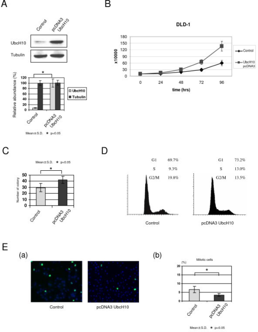 Overexpression of UbcH10 promotes the cellular proliferation and alters the cell cycle profile in colon cancer. (A) UbcH10 overexpression in DLD1 colon cancer cells. (B) Cellular proliferation was markedly increased in UbcH10-overexpressed DLD1 cells compared with control cells. (C) Results of anchorage-independent colony formation soft-agar assay. The number of colonies was markedly increased in stably-transfected UbcH10 DLD1 colon cancer cells. (D) Cell cycle profile of overexpresed UbcH10 and control DLD1 cells shows that the population of G2/M cells is moderately decreased with the delivery of UbcH10. (E) a. Immunofluorescence with phosphorylated-histone H3 (pH3). The population of pH3 positive cells was decreased in UbcH10-overexpressed DLD1 cells. b. Quantification of immunofluorescence analysis (triplicate experiments).