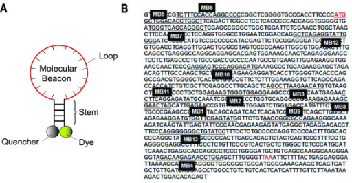 The cDNA sequence of mouse Oct-4 mRNA and the hybridization sites of Oct-4 targeting molecular beacons (MB1 – MB13).