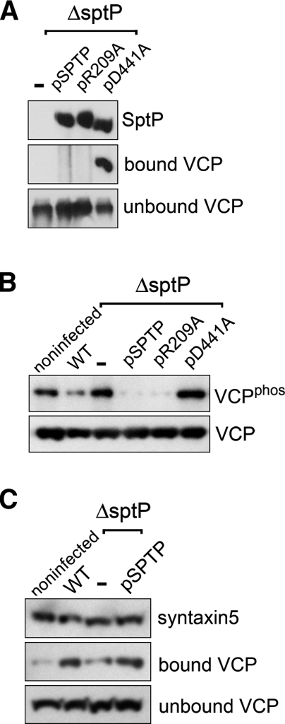 SptP-Dependent VCP Dephosphorylation during Infection(A) SptP interaction with VCP. HeLa cells were infected with S. Typhimurium ΔsptP expressing plasmid-encoded FLAG-tagged SptP variants (−, pSPTP, pR209A, pD441A). At 4 hr postinfection, cells were lysed with detergent, and SptP variants were immunoprecipitated from cell lysates with antibodies against SptP immobilized on protein G Sepharose. Eluted immunoprecipitates were assayed for presence of SptP and bound VCP and also supernatants for unbound VCP by immunoblotting with antibodies against FLAG (SptP) and VCP.(B) SptP-dependent dephosphorylation of VCP during S. Typhimurium cell infection. HeLa cells were individually infected with S. Typhimurium strains, described in (A), and wild-type (WT). At 4 hr postinfection, cells were lysed with detergent, and VCP was immunoprecipitated using antibodies against VCP immobilized on protein G Sepharose. Phosphorylation status of immunoprecipitated VCP was assessed by immunoblotting with antibodies against phosphotyrosine (VCPphos) and VCP serving as a loading control (VCP).(C) SptP-dependent syntaxin5 interaction with VCP during cell infection. HeLa cells transiently transfected with pcDNA3.1-HA-STX5 were either noninfected or infected in parallel with wild-type S. Typhimurium, the ΔsptP (−)  mutant, or ΔsptP expressing plasmid-encoded SptP (pSPTP). HA-tagged syntaxin5 was immunoprecipitated from cell lysates with antibodies against HA immobilized on protein G Sepharose. Eluted immunoprecipitates were assayed for presence of syntaxin5 and bound VCP and also supernatants for unbound VCP by immunoblotting with antibodies against HA (syntaxin5) and VCP.