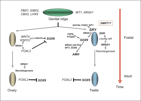 a hereditary determination of sex Detailed genetic studies of sex determination werelimitedtoafeworganisms, mostnotablydrosophilamelanogaster, which has male heterogamety in genic balance systems, sex depends on a balance be-tween female-determining factors on the x chromosome and male-determining.