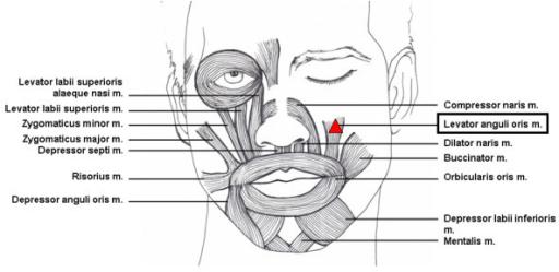 depressor anguli oris cadaver image information, Human Body
