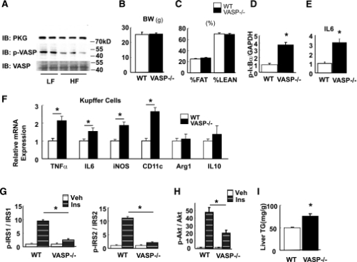 Effect of VASP deficiency on hepatic and Kupffer cell inflammation and hepatic insulin signaling. A: Hepatic PKG expression and phosphorylation of VASP Ser 239 from wild-type (WT) mice fed either a low-fat (LF) or high-fat (HF) diet for 4 weeks from age 8 weeks (n = 5). B–E: Vasp−/− mice and littermate control mice were fed an LF diet for 4 weeks. B: Body weight (BW) (g). C: Body composition (%). Liver lysates were analyzed for IκB-α phosphorylation by Western blot (D), and IL-6 mRNA expression was measured by RT-PCR (E) (n = 8). *P < 0.05. F: Kupffer cells were isolated from Vasp−/− mice or WT control mice on an LF diet for 4 weeks. Inflammatory markers as measured by RT-PCR (n = 5). *P < 0.05. G and H: In parallel experiments in Vasp−/− (n = 7) and littermate control (n = 9) mice, hepatic insulin (Ins) signaling was assessed following intraperitoneal injection of insulin. IRS-1 and IRS-2 tyrosine phosphorylation and Akt serine phosphorylation. *P < 0.05. I: Hepatic triglyceride (TG) from Vasp−/− and control (n = 5). *P < 0.05. Veh, vehicle. IB, immunoblot; kD, kilodalton.