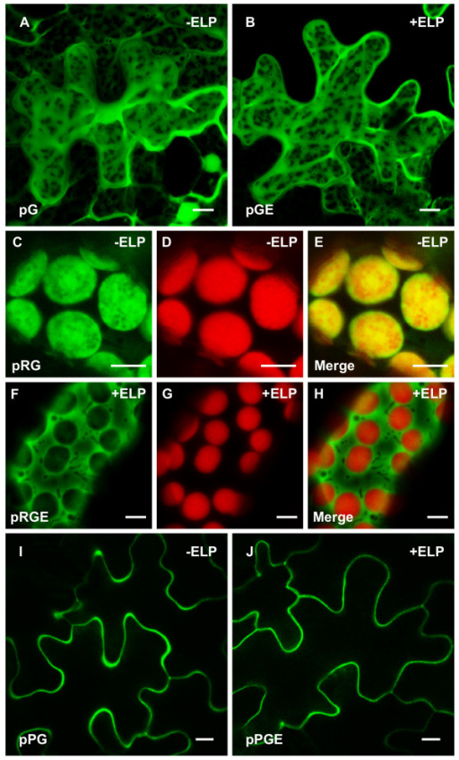 how to make fusion protein with gfp