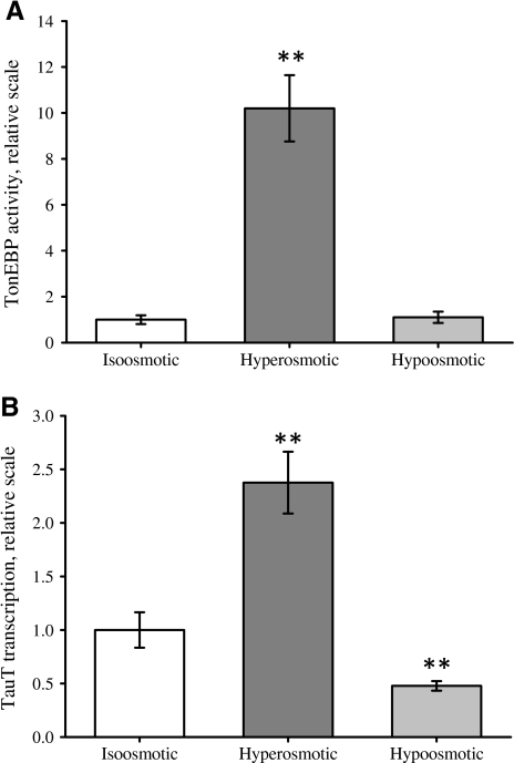 Effect of long-term hyper- and hypo-osmotic conditions on TonEBP activity and TauT transcription. TonEBP activity and TauT transcription were estimated in NIH3T3 cells exposed to iso-osmotic, hyperosmotic or hypo-osmotic medium (DMEM) for 16 and 4 h, respectively. a For estimation of TonEBP activity, cells were transfected with luciferase-plasmid and incubated with the indicated medium and luciferase activity was estimated as indicated in Materials and Methods. b TauT mRNA transcription was estimated by qPCR. cDNA was generated from mock-transfected NIH3T3 cells, and qPCR was performed using primers specific for TauT mRNA as indicated in Materials and Methods. Values are given relative to their respective iso-osmotic control ± SEM. Data in (a) represent seven sets of paired experiments. Data in (b) represent four and five sets of paired experiments for hyperosmotic and hypo-osmotic, respectively. Statistical evaluation for (a) and (b) by Student's t-test (paired, one-sided) comparing hyperosmotic or hypo-osmotic to iso-osmotic control, respectively. *P < 0.05, **P < 0.01 compared to iso-osmotic control