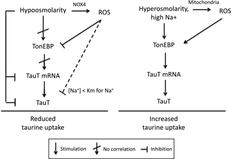 Modulation of taurine uptake by TauT following osmotic stress. The model is described in the text