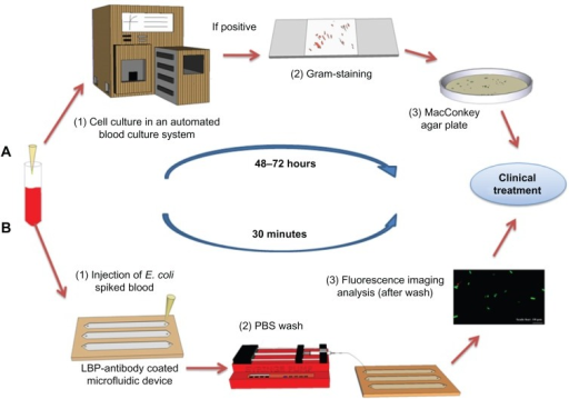 Comparison of the conventional culture method and the microchip based E. coli detection. (A) Conventional procedure for bacteria detection in clinical facilities. Blood sample collection. (1) Blood samples are incubated in an automated blood culture system. (2) Pathogen or bacteria grown on agar plate are subject to Gram-staining for differentiation between Gram-positive and negative strains. (3) The sample is sub-cultured into a nutrient-rich agar plate for the identification of the species and to determine the bacterial concentration. (B) POC testing approach for rapid detection. Blood sample collection (spiked with GFP-expressing E. coli BL21 stock as a model microorganism). (1) The blood sample is analyzed in microchannels functionalized with E. coli antibodies. E. coli were specifically captured by antibodies on the microchannel surface. (2) Unbound E. coli are washed away with PBS using a syringe micropump. (3) GFP-expressing E. coli are imaged/counted under a fluorescence microscope.Abbreviations:E. coli, Escherichia coli; GFP, green fluorescent protein; LBP, lipopolysaccharide binding protein; PBS, phosphate buffered saline; POC, point-of-care.