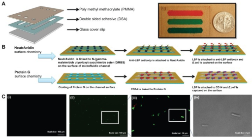 Evaluation of two different surface chemistry methods for E. coli detection on chip. (A) Assembly of the microfluidic chip consisting of PMMA, DSA, and glass cover. Actual image of the assembled microchip containing food dye for visualization. (B) Two antibody immobilization mechanisms were employed, ie, Protein G and NeutrAvidin based surface chemistry. In the first method, biotinylated anti-LBP antibody was immobilized on the microchannel surface via NeutrAvidin. Then, LBP was immobilized on anti-LBP antibody. In the second method, CD14, anti-LPS, or anti-flagellin antibodies was immobilized on the microchannel surface via Protein G. Only CD14 immobilization was illustrated and similar steps were followed for anti-flagellin and anti-LPS. (C) Detection of GFP-tagged E. coli on-chip. To validate the E. coli capture process, and quantify the on-chip concentration and capture efficiency of E. coli, these cells were identified under brightfield (100× magnification) and fluorescence microscopy. (i) Image of the control experiment without E. coli at 10× magnification under a fluorescence microscope. (ii) Image of the capture of GFP-tagged E. coli at 10× magnification under a fluorescence microscope. (iii) Image of the capture of GFP-tagged E. coli at 100× magnification under a fluorescence microscope. (iv) Image of the captured GFP-tagged E. coli at 100× magnification under bright field.Abbreviations: DSA, double-sided adhesive film; E. coli, Escherichia coli; GFP, green fluorescent protein; LBP, lipopolysaccharide binding protein; LPS, lipopolysaccharide; PBS, phosphate buffered saline; PMMA, poly(methyl methacrylate); POC, point-of-care; GMBS, N-(gamma-maleimidobutyryloxy) succinimide