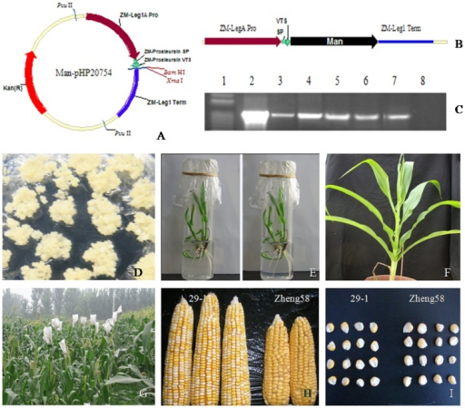 Construction of the recombinant vector and regeneration of transgenic maize.A) The recombinant expression vector pHP20754-man5As. B) The chimeric gene cassettes for expression in maize. C) PCR analysis of five putative calli. Lane 1, the DNA molecular weight markers; lane 2, the expression vector pHP20754-man5As (positive control); lane 3–7, the calli of transgenic maize Hi-II; lane 8, the calli of non-transgenic maize Hi-II (negative control). D) Embryogenic calli in selective medium. E) Plantlets in rooting medium. F) Regenerated maize plants in the greenhouse. G) Transgenic maize in fields. H) Ears of generation T1 of transgenic plant and non-transgenic maize Zheng58. I) Seeds of generation T1 of transgenic plant and non-transgenic maize Zheng58.