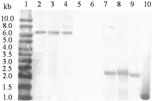 Southern blot analysis of MAN5AS in three transgenic plants of event 22 after digestion with HindIII and BamHI.Lane 1, the DIG-labeled molecular weight markers; lane 2–4, MAN5AS with BamHI digestion; lane 5 and 6, non-transgenic Zheng58 digested by BamHI and HindIII, respectively; lane 7–9, MAN5AS with HindIII digestion; lane 10, the digested expression cassettes as a positive control.