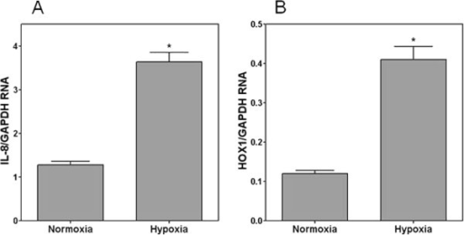 RT-PCR for IL-8 and HOX1 relative to GAPDH in unexposed NHBE cells grown in 95% air-5% CO2 (normoxia) and 95% N2-5% CO2 (hypoxia) for 24 hours. RNA for IL-8 and HOX1 significantly increased with hypoxia. *Significant difference relative to normoxia.