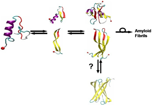 "Schematic representation of misfolding/aggregation mechanism of hIAPP.Left: Helix-coil structure for normal function; Middle: aggregation-prone β-rich monomers; Right: early putative toxic dimers (Dupuis et al. JACS 2011). The question mark indicates the hairpins may further form cylindrin-like toxic oligomers, modeled from the cylindrical barrel of an amyloid peptide (PDB id: 3SGR) (Laganowsky et al. Science 2012). The isomerization symbol indicates that at some, as yet unknown size, the β-strand aggregates must rearrange to the β-sheet aggregates found in the fibrils. N-terminus is indicated by red ball, residues 23–29 in the ""mutation region"" are in red. In the β-hairpin, residues 19S-20S-21N-22N form a turn and residues 11–19 and 23–33 form two β-strands."