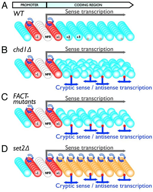 "Figure 1. Model of key mechanisms controlling cryptic transcription. Panels show schematics representing transcription units in WT (A) or mutant cells (B-D). Colored balls represent nucleosomes (Red: ""hot"" nucleosomes with a high turnover rate; Blue: ""cold"" nucleosomes with a low turnover rate; Orange: nucleosomes with an elevated turnover rate). Each row of nucleosomes indicates the chromatin structure of a single cell within the cell population (multiple rows). Red stars represent cryptic promoter sequences, which can either be shielded by the nucleosomes (A) or exposed when chromatin structure is impaired, resulting in cryptic transcription initiation (B-D). The empty circles indicate NFRs in the promoter region. Overall, the model demonstrates: Cryptic promoters are shielded in WT cells with proper chromatin structure (A); Cryptic promoters are exposed leading to cryptic transcription in cells with impaired chromatin structure due to altered nucleosome positioning (B), nucleosome depletion (C) or increased nucleosome turnover rate in gene coding regions (D)"