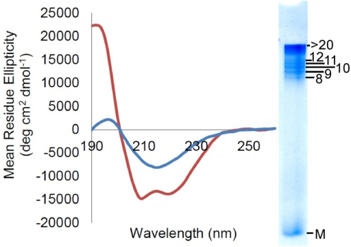 Circular dichroism (CD) indicates that shaking-induced oligomers contain significant quantities of β-sheet.Shaking recShPrP 90–232 at 350 rpm (in pH 5.5 water and 150 mM NaCl) induces conversion from an α-helical protein (red line) to a β-sheet rich structure (blue line). The inset, on the right, shows the corresponding RENAGE gel of the same sample, indicating a preponderance of oligomers. CDPro analysis for native PrPc gives 43% α-helix and 10% β-sheet, and for oligomers it yields 16% α-helix and 24% β-sheet.