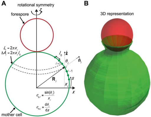 Engulfment model and Langevin simulations.(A) 3D mother-cell membrane is represented by a string of beads assuming rotational symmetry around -axis. Each bead at position (, ) represents a ribbon of width  and length . Forespore is modeled as a solid sphere. See Materials and Methods, and Text S1 for further model explanations. (B) Snapshot of 3D simulation showing example of early-stage engulfment.