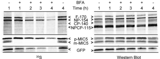 Protein synthesis during BFA treatment assessed by biosynthetic labeling of FtsH1, MIC5 and cytosolic GFP.Fibroblast monolayers infected with T. gondii expressing FtsH1 tagged internally with V5 epitopes and a cytosolic GFP (∼108) were pre-incubated with or without BFA (1 µg/ml) for the indicated times prior to being labeled with 35S-methionine/cysteine for 30 minutes. Samples were immunoprecipitated with anti-V5 mAb, anti-GFP, and anti-MIC5 before being separated on 7.5% (FtsH1) or 8–16% (GFP and MIC5) SDS-PAGE gels and transferred to nitrocellulose. The left panel shows phosphorimaging, the right panel shows the same lanes detected by Western blot. The four major forms of FtsH1 are marked according to their apparent molecular mass on SDS-PAGE: full-length (F-170), N-terminally processed (NP-154), C-terminally processed (CP-140) or dual processed (NPCP-115). In a 30 min labeling, the first two forms predominate [21]. The precursor (p) and mature (m) forms of MIC5 [75] are marked.