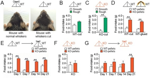 Whisker trimming in WT and AC5 KO mice switched on-and-off behavioral preferences for KO food pellets in opposite ways. (A) Photographs showing a mouse with normal whiskers or whiskers cut to the fur level and respective mouse symbols. (B, C) Whisker trimming in WT (B) and AC5 KO mice (C) had no effect on their behavioral preferences for rough pellets over smooth ones. (D) Whisker trimming or whiskers glued to the snout and chin in WT mice induced behavioral preferences for KO pellets over WT pellets. (E) Temporal changes of whisker trimming effects in WT mice on behavioral preferences for KO pellets over WT pellets. Two-way repeated measures ANOVA, Holm-Sidak post-hoc test: time [F(3, 42) = 11.22, p <0.001], food [F(1,14) = 423.4, p <0.001], and time × food interaction [F(3,42) = 7.517, p <0.001]. (F) Whisker trimming effects in AC5 KO mice on behavioral preferences for KO pellets over WT pellets. (G) Temporal changes of whisker trimming effects in AC5 KO mice on behavioral preferences for KO pellets over WT pellets. Two-way repeated measures ANOVA, Holm-Sidak test: time [F(3, 36) = 0.7297, p = 0.5410], food [F(1,12) = 25.95, p <0.001], and time x food interaction [F(3,36) = 2.832, p = 0.0519]. Mouse symbols: WT (black) and AC5 KO (red) with or without whiskers. Data are presented as the mean ± SEM (n = 7-20), * and ** denote the difference between indicated groups at p <0.05 and p <0.01.