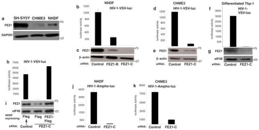 FEZ1 is a positive regulator of HIV-1 infection in non-neuronal human cells(a) Endogenous levels of FEZ1 in neuroblastoma cells (Sh-SY5Y), microglia (CHME3) or primary normal human dermal fibroblasts (NHDF). Equal cell numbers were lysed and analyzed by WB using anti-FEZ1 antibody. Equal loading was confirmed using anti-GAPDH antibody. (b–i) FEZ1 is required for early HIV-1 infection regardless of the route of viral entry. NHDF (b–c), CHME3 (d–e) or Thp-1 differentiated into macrophages (f–g) were transfected with control siRNA (control) or independent FEZ1 siRNAs (FEZ1-B or FEZ1-C). 48h post-transfection cells were infected with HIV-1-VSV-luc followed by measurements of luciferase activity to determine levels of infection in NHDF (b), CHME3 (d) or differentiated Thp-1 (f) cells. (c, e and g) WB analysis showing the extent of FEZ1 depletion in samples from b, d and f, respectively. β-actin or eIF4E were used as loading controls. (h and i) Rescue of RNAi-mediated FEZ1 depletion restores HIV-1 infection. (h) Pools of NHDF cells expressing either Flag control or FEZ1-Flag were treated with either control or FEZ1-C siRNAs followed by HIV-1-VSV-luc infection and measurements of infectivity as in b–d. (i) WB analysis showing the levels of FEZ1 in samples from h. eIF4E was used as a loading control. (j and k) NHDF or CHME3 cells were transfected with control or FEZ1-C siRNAs followed by infection with HIV-1-Ampho-luc 48h post-transfection. Luciferase assays were used to determine levels of infection in NHDF (j) or CHME3 (k). Results are representative of 3 or more independent experiments, and error bars represent standard deviation. Molecular weight markers (in kDa) are shown to the right of WBs.