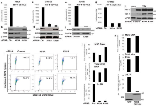 Kinesin-1 regulates nuclear entry of HIV-1 DNA(a–g) Kinesin-1 depletion affects early HIV-1 infection regardless of the route of viral entry. NHDF (a–b), CHME3 (c–d,g) or Jurkat (e–f) cells were transfected with control (ctrl), Kif5A or Kif5B siRNAs. 48h post-transfection cells were infected with HIV-1-VSV-luc (a, c, e) or HIV-1-Ampho-luc (g) followed by measurements of luciferase activity in NHDF (a), CHME3 (c, g) or Jurkat (e) cells. (b, d and f). WB analysis demonstrated kinesin-1 depletion in samples from a, c and e using antibodies against kinesin-1 (Kif5A/B), Kif5B or β-actin (loading control). (h) Kinesin-1 knockdown does not inhibit VSV infection. NHDF cells treated with control, Kif5A or Kif5B siRNAs were infected 48h post-transfection with VSV at m.o.i. 10. 8h after infection cells were lysed and analyzed by WB using anti-VSV-G or anti-VSV-N antibodies. eIF4E was used as loading control. (i) Effects of kinesin-1 depletion on fusion of HIV-1 cores into the cytosol. NHDFs were treated with control, Kif5A or Kif5B siRNAs and then either mock infected (upper panels) or infected with HIV-1-VSV-luc containing BlaM-Vpr (lower panels). FACS analysis of cells showed ~14–18% shift from green (uncleaved CCF2) to blue (cleaved CCF2) cells in control and kinesin-1-depleted cultures. (j–l) Kinesin-1 regulates nuclear entry of HIV-1 DNA. (j) CHME3 cells treated with control (Ctrl), Kif5A or Kif5B siRNAs were infected with HIV-1-VSV-puro 48h post-transfection. Low molecular Hirt DNA was isolated 24h post-infection and levels of viral MSS-DNA, total viral DNA and 2-LTRs in samples were measured by qPCR using specific primers to MSS, puromycin or 2-LTRs, respectively. Copy numbers were calculated and normalized to input DNA in each sample. Data are presented as mean +/- SEM. (k–l) CHME3 cells were transfected with plasmids expressing either GFP or GFP-tagged dominant negative Kif5B (Kif5B-GFP-DN). 48h post-transfection cells were infected (k) and levels of MSS DNA, total DN and 2-LTRs were measured as described in j. or (l) cells were lysed in Laemmli buffer and analyzed by WB using anti-GFP antibody to detect GFP or dominant-negative GFP-Kif5 (Kif5B-GFP-DN). Molecular weight markers (in kDa) are shown to the right of WBs.