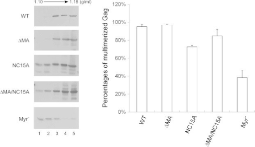 Velocity sedimentation analysis of cytoplasmic Gag precursor complexes. 293T cells were transfected with 20 μg of the PR-inactivated versions of the indicated plasmids. Two days post-transfection, cells were homogenized and their extracted cytoplasmic lysates centrifuged through 25%, 35% and 45% sucrose step gradients at 130,000g for 1 h. Fractions were collected from gradient tops, and fraction aliquots were subjected to 10% SDS–PAGE and probed with a monoclonal antibody directed at p24CA. Total Gag proteins were quantified by scanning the immunoblot band densities of fractions 1–5. Multimerized Gag protein percentages were determined by dividing multimerized Gag protein density units (fractions 3–5) by total Gag density units (fractions 1–5) and normalizing the results to that of the wt.