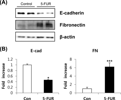 5-FU resistant phenotype exhibits an EMT-like cellular characteristics compared with parental HT-29 cells. (A) Protein expression of E-cadherin and fibronection were determined by western blotting. (B) Density of each blot was quantified using Image J. Each value represents the mean ± SD of three independent experiments. *, **Significantly different from the parental HT-29 cells at p < 0.05, 0.01, respectively (Student's t-test).