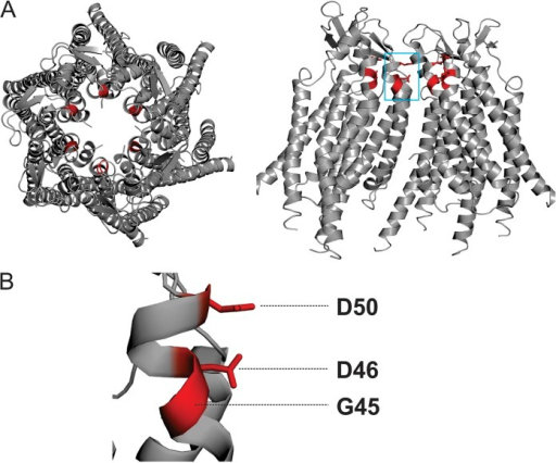 Residues selected for chemical modification in the Cx26 hemichannel. (A) Top (left) and side view (right) of the human Cx26 hemichannel crystal structure. Four subunits are shown in the side view to show the pore-lining region. (B) Magnification of residues D50, D46, and G45, all highlighted in red.