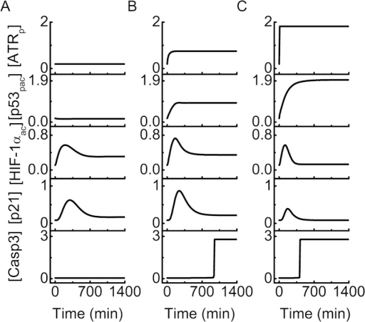 Overview of the network dynamics under different hypoxic conditions.Temporal evolution of the levels of ATRp, p53pac, HIF-1αac, p21 and Casp3 in mild hypoxia (2% O2, (A)), severe hypoxia (0.02% O2, (B)), or anoxia (0% O2, (C)).
