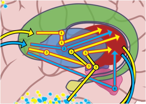 "In this figure, basal ganglia GO pathways are shown in blue, and they are selecting the ""blue"" emulation, while NO GO pathways are shown in yellow deselecting the ""yellow"" emulation. Arrows that are outlined in black denote an excitatory connection, while red-outlined arrows represent an inhibitory connection. Pathway 1 is a NO GO pathway that includes an inhibitory connection from the striatum to the globus pallidus externus (GPe), an inhibitory connection from the GPe to the globus pallidus internus (GPi), and an inhibitory connection to the thalamus. Pathway 2 is a GO pathway that has an inhibitory connection from the striatum to the GPi, and an inhibitory connection from the GPi to the thalamus. Pathway 3 is a NO GO pathway that contains an inhibitory connection from the striatum to the GPe, an inhibitory connection from the GPe to the subthalamic nucleus (STn), an excitatory connection from STn to GPi, and an inhibitory connection from GPi to thalamus. Pathway 4 is a GO pathway that has an inhibitory connection from the striatum to the substantia nigra pars reticulata (SNr), and an inhibitory connection from SNr to thalamus. Instead of starting in the striatum, Pathway 5 is a NO GO pathway that includes an excitatory connection directly from cortex the STn, an excitatory connection from STn to GPi, and an inhibitory connection from GPi to thalamus. Note that the pathways shown are just a selected subset of all the possible pathways information can travel through the basal ganglia in a cortical-basal ganglia-thalamo-cortical loop. See Schroll and Hamker (2013) for a review of basal ganglia pathways."