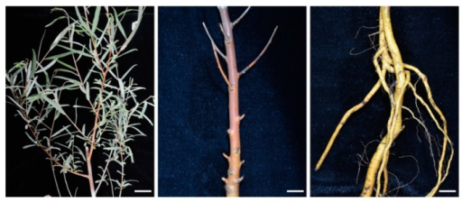Leaves, stems and roots used for RNA extraction. Mature leaves, stem epidermis and healthy roots were collected from salt-stressed P. euphratica saplings. Bars = 2 cm.