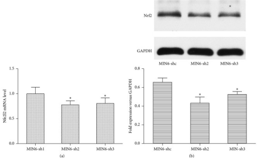 Effect of Nr2e1 on Nrf2 expression levels. (a) Relative expression level of Nfe2l2 mRNA in MIN6-shc, MIN6-sh2, and MIN6-sh3 cells. (b) Nrf2 protein levels. Results are means ± SD. ∗P < 0.05 compared to MIN6-shc.