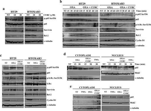 Effect of Curcumin on constitutive and OXA-induced NF-κB activation.(a) Western blot images of phosphorylated p65 (p-p65 Ser536), total p65, Survivin and Bcl-2 in HT29 and HTOXAR3 cells after a 24-hour treatment with 10 and 20 μM Curcumin (CURC). (b) Representative western blot images showing protein expression changes as indicated, in HT29 and HTOXAR3 cells after 24 h treatment with OXA or concomitant OXA plus Curcumin, for 0 to 120 minutes or 24 hours (c,d) Western blots showing p65 protein expression in cytoplasmic and nuclear extracts of HT29 cells after treatment with OXA (10 μM) or OXA + Curcumin (10 μM each) for short-time exposure (0 to 30 min) or 24 h (e). TNFα was used as positive control at 50 ng/ml. Msh2 and α-tubulin were used as nuclear- and cytoplasmic-specific protein controls, respectively. Images are representative of at least 3 independent experiments. NT: Non-treated cells.
