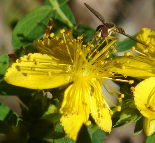 Hypericum perforatum flower with a syrphid fly (for scale) at the Mountain Lake Biological Station. This flower is an example of a right flower (see Fig. 2 for an explanation of terminology).