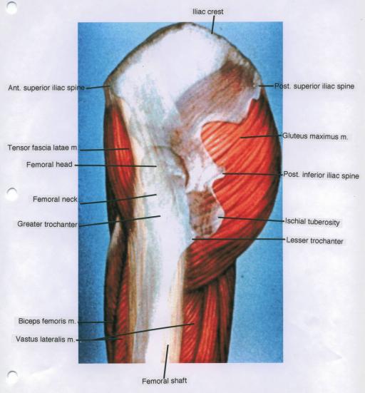 Anterior Superior Iliac Spine Tensor Fascia Lata Muscl Open I