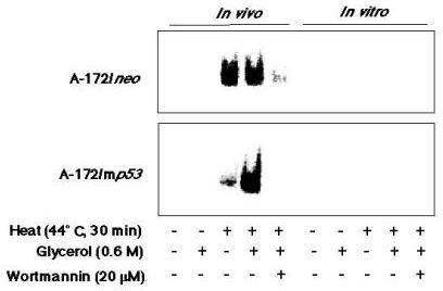 Gel mobility-shift assay of nuclear extracts or whole cell extracts from A-172/neo or A-172/mp53/248 cells to p53CON. in vivo, the cells were treated with glycerol (0.6 M), wortmannin (20 μM) and heat (at 44°C for 30 min). The nuclear fraction was extracted from the treated cells 6 h after heating. in vitro, the whole cell extracts prepared from intact cells, and then they were treated with glycerol, wortmannin and heat.