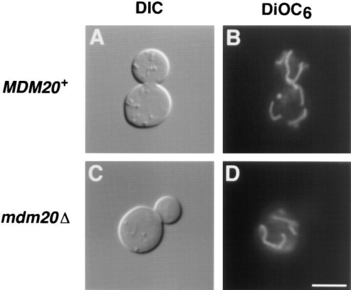 Cells lacking MDM20 have normal mitochondrial morphology but do not segregate mitochondria into buds at 37°C.  DIC images (A and C) and DiOC6 mitochondrial staining (B and  D) of MDM20+ (JSY999) (A and B) and mdm20Δ (JSY1065) (C  and D) cells grown at 37°C for 3 h. Bar, 5 μm.