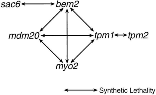 Summary of the synthetic interactions that involve  mdm20. The synthetic interactions between tpm1 and bem2 (Wang  and Bretscher, 1995), myo2 (Liu and Bretscher, 1992), and tpm2  (Drees et al., 1995) were previously reported.