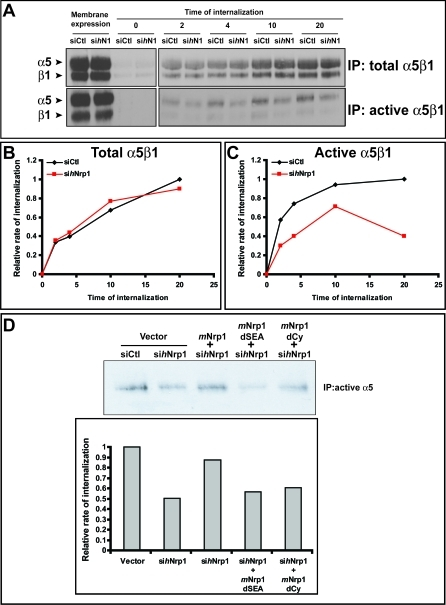 Nrp1 Regulates the Traffic of Active α5β1 Integrin in ECs(A) Time-course assays reveal an impairment of active but not total α5β1 integrin internalization in ECs silenced for hNrp1 (sihN1) in comparison with cells transfected with control siRNA (siCtl).(B,C) Relative quantifications of time-course internalization assays shown in (A) of total (B) and active (C) α5β1 integrin are depicted.(D) Wild-type mNrp1, but neither mNrp1dSEA nor mNrp1dCy deletion constructs, was able to rescue the early (4 min) internalization defects of active α5β1 integrin in sihNrp1 ECs as quantified in the lower histogram.