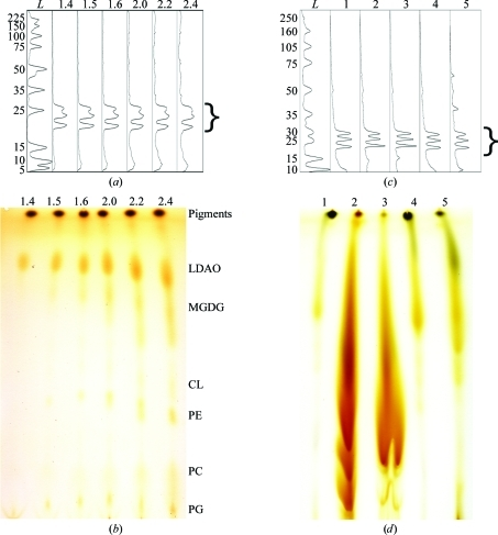 Characterization of protein and lipid impurities found within partially purified RC samples used for crystallization experiments. Protein analyses (a, c) are depicted as digitized intensities from Coomassie-stained SDS–PAGE gels. Lipid analyses (b, d) comprise iodine-stained TLC plates. For the partially purified samples (a) and (b), the RC content was kept constant using 12 and 30 µg in each gel and TLC lane, respectively. The numbers above the lanes indicate the A                  280/A                  800 ratio of the sample. Assignments of spots on the TLC plate in (b) signify the detergent and lipid components present in the samples that are resolved by this solvent system: Pigments, a mixture comprised of bacteriochlorophylls, bacteriopheophytins, carotenoids and quinones; LDAO, N,N-dimethyl­dodecylamine-N-oxide; MGDG, monogalactosyldiacylglycerol; CL, cardiolipin; PE, phosphatidyl­ethanolamine; PC, phosphatidylcholine; PG, phosphatidylglycerol. Increases in LDAO intensities observed on the TLC plate in (b) can be attributed to an overall increase in total protein in samples with decreasing purity (increasing levels of impurities), resulting in a higher overall level of PDCs (daCosta & Baenziger, 2003 ▶). For samples with lipids or membranes added (c, d), the exact contents of the LCP-based trials (0.5 mg of each) in the absence of MO were loaded for analysis. The samples contained (1) RCs only, (2) RCs plus 12% polar brain lipids, (3) RCs plus 18% polar E. coli lipids, (4) RCs plus 1.2% extracted R. sphaeroides lipids, (5) RCs plus 12% R. sphaeroides whole membranes. For both sets of samples, bands corresponding to the three protein subunits (L, M and H; ∼25–30 kDa) of the R. sphaeroides RC complex are marked with a bracket and the lanes containing molecular-weight standards [ProSieve Protein Markers from Lonza in (a) and Full-Range Rainbow Marker from GE Healthcare in (c)] are indicated (lane L).
