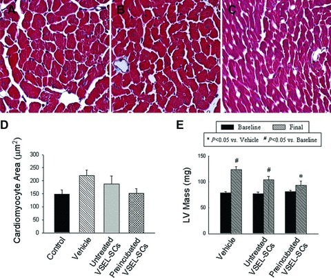 Impact of cell therapy on cardiomyocyte hypertrophy and LV mass. (A)–(C) Representative images of cardiomyocytes in the viable myocardium from Masson's trichrome-stained sections of hearts of mice that were given vehicle (group I) (A), expanded and untreated VSEL-SCs (group II) (B) and expanded pre-incubated VSEL-SCs (group III) (C). (D) Quantitative assessment of myocyte cross-sectional area in groups I–III compared with non-infarcted control hearts. (E) Compared with group I, echocardiographically estimated LV mass was significantly less in group III. Data are means ± S.E.M. n= 7–11 mice/group. (E) *P<0.05 versus vehicle (final); #P < 0.05 versus respective baseline values.