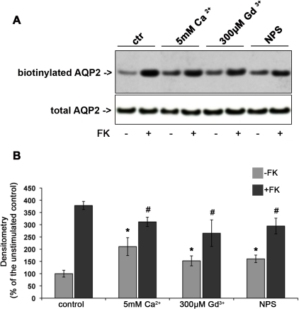 Effect of CaR signaling on AQP2 trafficking in MCD4 cells.Apical surface biotinylation. (A) MCD4 cells were preincubated with 5 mM Ca2+, 300 µM Gd3+ or 10 µM NPS-R 568 then exposed to FK10−4 M or left under control conditions. Apical membrane-expressed AQP2 was quantitated by apical surface biotinylation. FK-induced AQP2 membrane accumulation was significantly reduced in the presence of CaR agonists. CaR agonists induced a mild increase in AQP2 membrane expression even in the absence of FK stimulation. The total amount of AQP2 in the starting preparation was comparable in each experimental condition (total AQP2). (B) Densitometric analysis of the 29 kDa biotinylated AQP2 band. Results are expressed as mean values ± SEM. The values obtained in five independent experiments are expressed as percentages of the basal condition. Data were compared by one-way Anova and Tukey's multiple comparison test (* P<0.05 relative to ctr, # P<0.05 relative to FK).