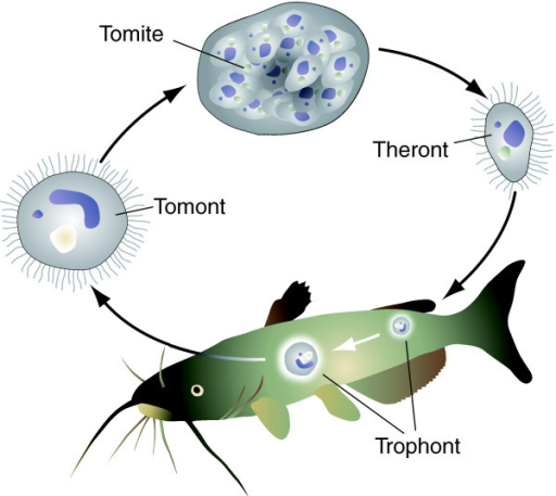 Life cycle of ich infective theronts bore through the for Fish life cycle