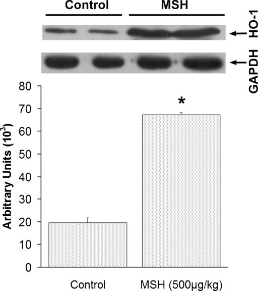Western blot analysis for HO-1 protein expression (group I-b). The HO-1 content of I/R-injured bulbi is represented in arbitrary units with SEM in animals not receiving α-MSH (control) and rats treated with 500 μg/kg α-MSH. *p < 0.05