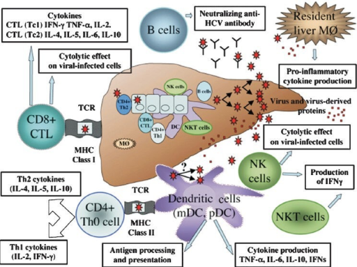 The immune response in viral hepatitis C involves both the innate and adaptive immune system. Innate immunity involves activation of resident liver macrophages (MØ), dendritic cells (DCs), natural killer (NK) cells, and NKT cells, whereas CD4+ T cells, CD8+ T cells, and B lymphocytes are effectors of adaptive immunity. CTL, cytotoxic T lymphocyte; HCV, hepatitis C virus; IFN, interferon; IL, interleukin; MHC, major histocompatibility complex; TNF, tumour necrosis factor.(Reproduced with permission from John Wiley and Sons Ltd., New Jersey, USA [Clin Liver Dis 2006; 10 : 753-71]17.