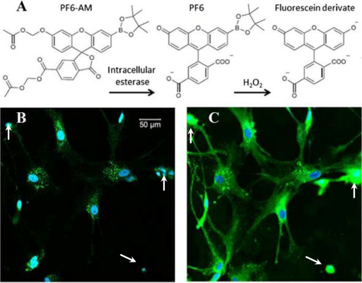 Fluorescence imaging of intracellular H2O2production using fluorescence probe PF6-AM (green). (A) Mechanism of Chemoselective H2O2 PF6-AM. (B) TPF imaging of H2O2 in astrocytes, fluorescence excited with a 770 nm Ti:sapphire laser. (C) Confocal microscopy of H2O2 in same astrocytes imaged in panel B, fluorescence excited with a 488 nm laser. The nuclei were stained with Hoechst 33342 (blue).