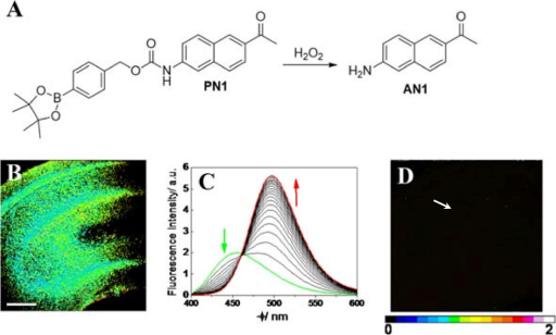 Ratiometric imaging of fresh rat hippocampal slice treated with H2O2. (A) The reaction between PN1 and H2O2 produced AN1 as the only major fluorescent product. (B) A hippocampal slice labeled with PN1. (C) Fluorescence spectra responses of 3 μM PN1 to 1 mM H2O2. Spectra were acquired at 0, 10, 20, 30, 40, 50, 60, and 120 min after H2O2 was added. (D) A hippocampal slice labeled with PN1 after pretreated with H2O2. Scale bars: 30 μm. The figures were adapted from ref. [50] with permission.