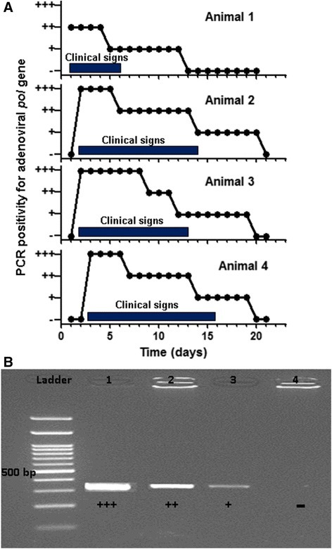 Presence of adenoviral DNA in fecal samples of four diseased bottlenose dolphins. A) Variation in the intensity of the adenoviral polymerase (pol) amplicon across different diseased animals and samples taken at the indicated times from the same animal. Black bars indicate the period during which each animal exhibited clinical manifestations. Day 1 was the day on which the first animal became overtly sick with vomiting and diarrhea. B) Representative results showing four levels of band intensity (- / + / ++ / +++) for the PCR amplicons of a region of the adenoviral pol gene. Line 1 corresponds to an amplification prepared from a fecal sample taken on day 2 from animal 2; Line 2, from a fecal sample taken on day 1 from animal 1; Line 3, on day 15 from animal 3; and Line 4, on day 20 from animal 4, used as negative controls. On the DNA ladder, the band of 500 bp is indicated.