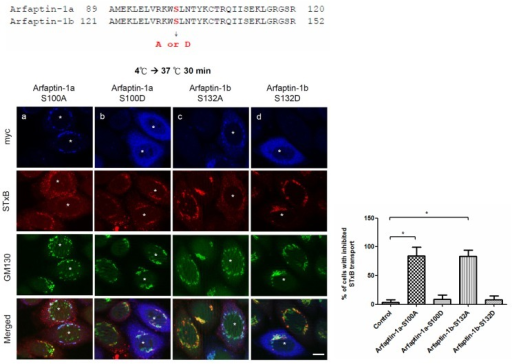The effect of arfaptin-1b serine 132 phosphorylation on STxB endocytic transport.HeLa cells were transfected with arfaptin-1a-S100A, arfaptin-1a-S100D, arfaptin-1b-S132A, or arfaptin-1b-S132D for 48 h. A STxB transport assay was conducted with incubation at 37°C for 30 min, followed by staining with anti-myc and anti-GM130 antibodies. Scale bars, 10 μm. Asterisks indicate the exogenous expression of myc-tagged arfaptin-1 constructs. The percentage of cells exhibiting inhibited STxB transport was quantified (n>50 for each experiment), and the data are presented as the means±SDs; p<0.05 indicates significance, as determined by one-way ANOVA.